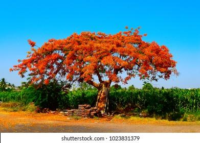 Royal Poinciana Tree (Gulmohar) , Delonix regia near Pune, Maharashtra