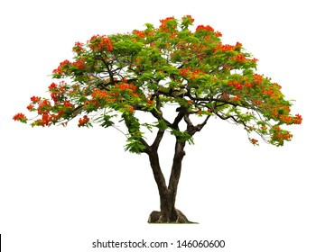 Royal Poinciana tree with red flower isolated on white