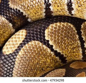 Royal Python, or Ball Python (Python regius). Scales of a snake as a background.