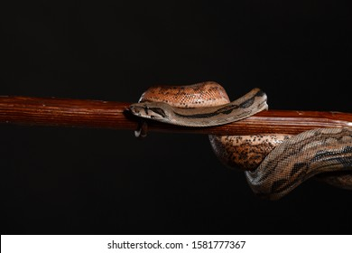Royal Python, or Ball Python (Python regius), studio. It's camouflage colors have an amazing pattern. The curious snake is a pet reptile