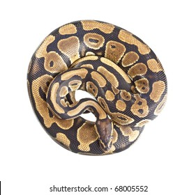 Royal Python, or Ball Python (Python regius), in studio against a white background.