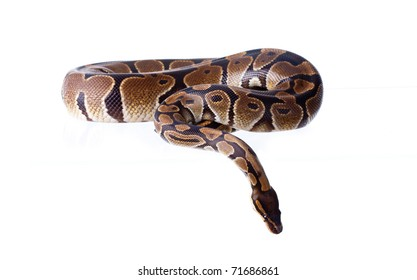 Royal Python, or Ball Python (Python regius), in studio against a white background. A lot of copyspace available. Macrophotography