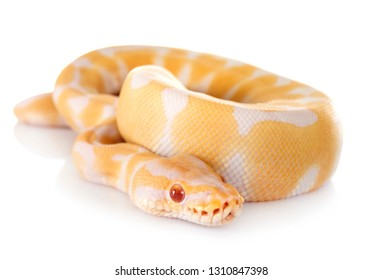royal python in front of white background