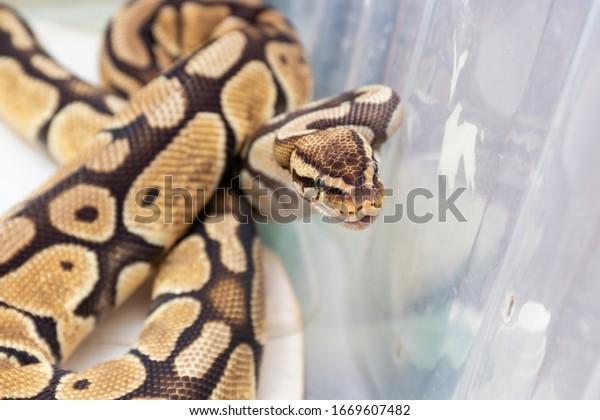 royal-python-home-terrarium-600w-1669607