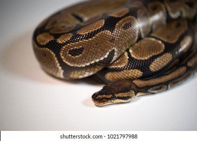 Royal Python. Natural color is normal. Snake. Wild nature. White background. Studio.
