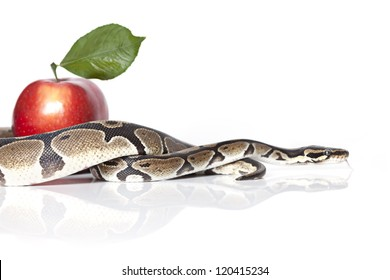 Royal Python with red apple on white background