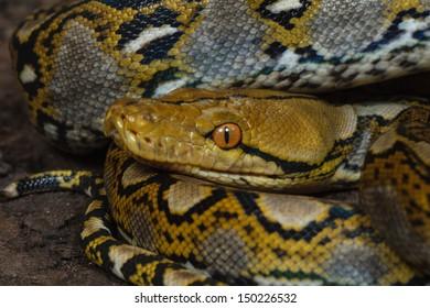 Royal Python (Python regius)