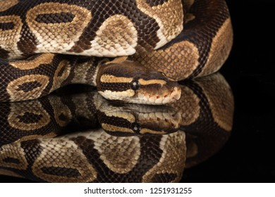 Royal python (Python regius) also called a ball python, an African reptile or snake species
