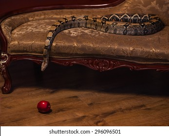 Royal Python snake creeps on sofa to red apple