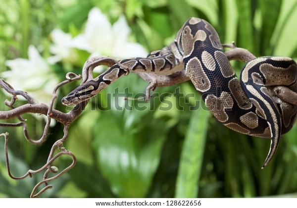 Royal Python snake rested on a wooden branch