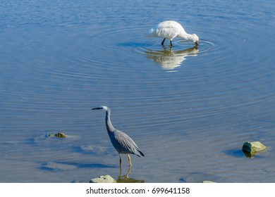 Royal Spoonbill and White Faced Heron sharing the stream