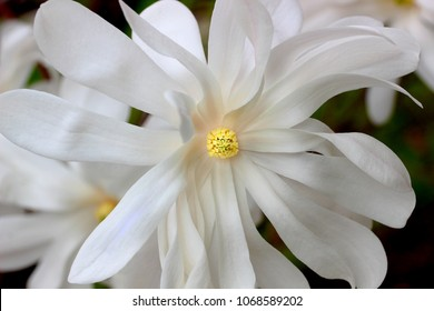 The royal star is one of the first flowering trees or shrubs to bloom in the spring, magnificent display of white flowers can be a centerpiece for your front or back garden.  Green leaves emerge after