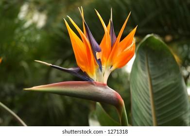 """Royal strelicija"" flower, tropical plants"