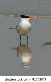 Royal Tern (Sterna maxima) - Cumberland Island Georgia