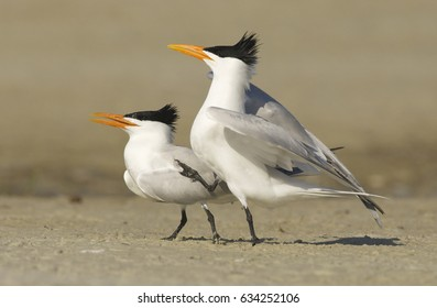 Royal Tern, Sterna maxima, on beach with mating dance or display