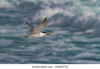 A Royal Tern takes flight from the beach.