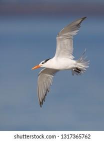 Royal Tern (Thalasseus maximus) in flight - Jekyll Island, Georgia