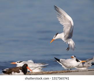 Royal Tern (Thalasseus maximus) preparing to land - Jekyll Island, Georgia