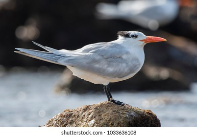 Royal Tern (Thalasseus maximus) Resting on Rocks on the Shore of the Ocean in Mexico