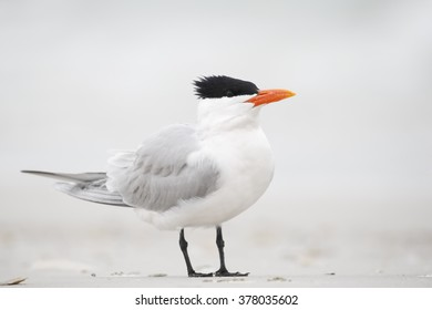 Royal Tern (Thalasseus maximus) standing on the beach, Fort De Soto Park, Tierra Verde, Florida, USA