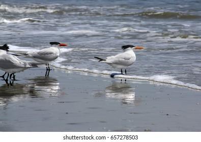 Royal terns at Cumberland Island National Seashore.