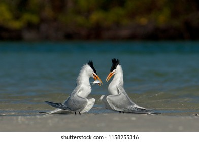 Royal terns exhibiting feeding and mating behaviors on sandbar Wiggins Pass, Florida
