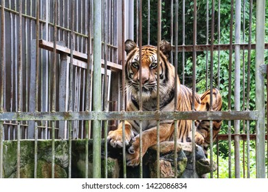A royal tiger stay in wildlife quarantine center at Nakhonnayok, Thailand
