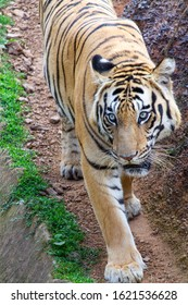 The royal walk without any fear. the apex predator looking ruthlessly with its eyes wide open