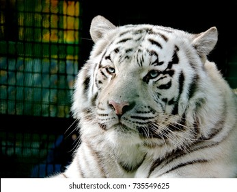 Royal white bengal tiger. Portrait of a Bengal tiger.