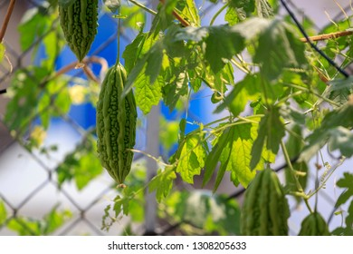Royalty high quality free stock image of bitter melon. Momordica charantia often called bitter melon, bitter gourd or bitter squash