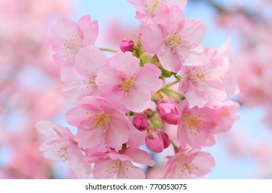 Royalty high quality free stock image of cherry blossoms in Chidorigafuchi, Japan.