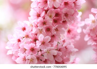 Royalty high quality free stock image of cherry blossoms in Shinzyukugyoen, Japan.