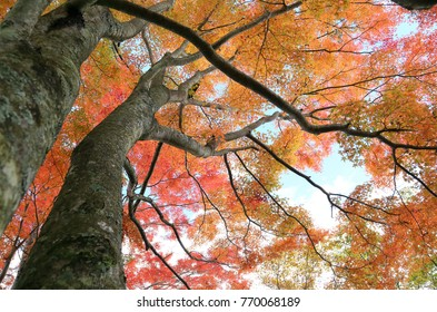 Royalty high quality free stock image of a big maple tree, Japan