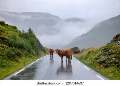 Rree range cattle standing on a mountain road in Norway, Scandinavia - animal road hazard concept