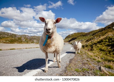 Rree range sheep and lamb standing on a mountain road in Norway, Scandinavia - animal road hazard concept