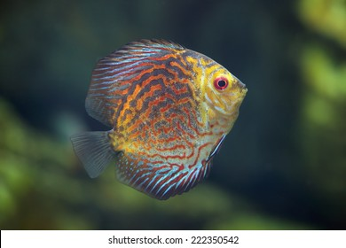 Rriver fish (species Turquoise Pigeon), underwater photography