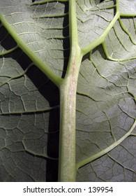 Rubarb leaf