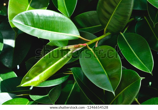 Rubber fig's big smooth green leaf (ficus benjamina, ficus elastica, ficus microcarpa, rubber, weeping, banyan, climbing, sycamore, ficus, scared, fiddle, weeping)