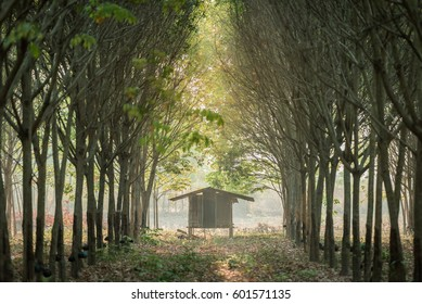 Rubber latex tree farm at Thailand