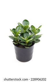 rubber plant (ficus)  in the small pots isolated on white background