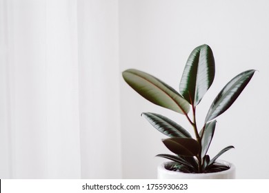Rubber Plant. India Rubber Fig tree isolated on white background in cozy white room. Red tree Rubber. Air purification tree.