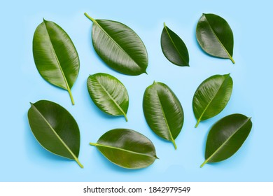 Rubber plant leaves on blue background. Top view