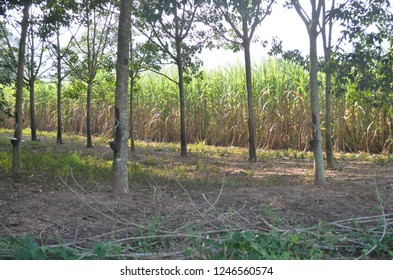 """Rubber plantation attached with a cup filled with latex which is a sticky, milky colloid drawn off by making incisions in the bark and collecting the fluid in vessels in a process called """"tapping"""""""