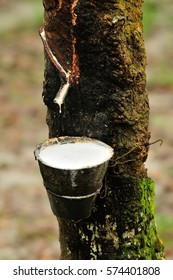 the at rubber plantation Terengganu, Malaysia (it is hevea brasiliensis as a source of natural rubber) and soft background of man tapping rubber tree, ( selective focus)