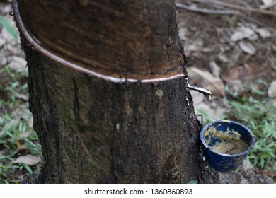 What Is Rubber Made Of >> Rubber Tree Images Stock Photos Vectors Shutterstock