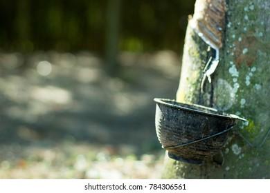 rubber plantation.Rubber tree