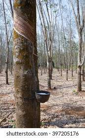 rubber plantations with a cup.