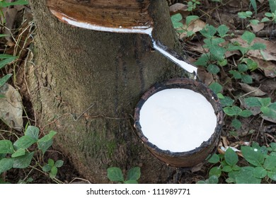 The rubber that come out from tree