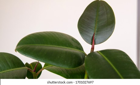 rubber tree blossom. new leaf on the way