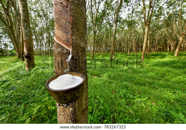 Rubber tree and bowl filled with latex.